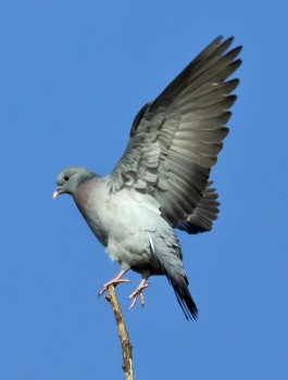 IMG_0088Pigeon Wing