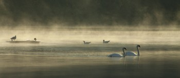 IMG_3002Swans in the Mist at Hooe16x7