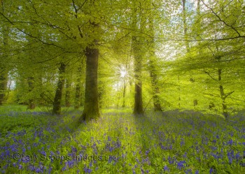 IMG_5783Bluebell Woodland Sunburst