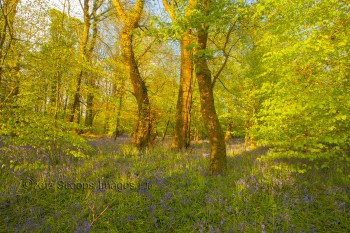 IMG_5899TreeScape amongst the Bluebells