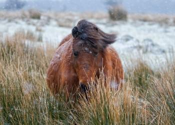06-01-18-Snowy-Dartmoor---Face-on-Pony_MG_0220