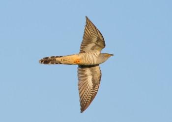 10-05-18-Emsworthy-Cuckoo-in-flight_MG_0103