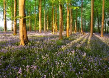 13-05-18-Dawn-Bluebells-Cann-Woods-IMG_4510-7x5