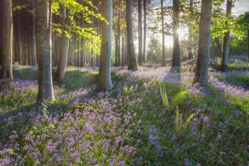 13-05-18-Dawn-Bluebells-Cann-Woods-IMG_4543