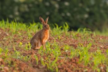 17-06-14 Golden Hare