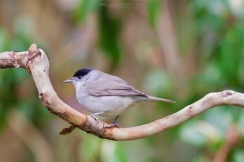 30-03-18-Perched-Garden-Birds-Male-Blackcap-IMG_3546Watermark