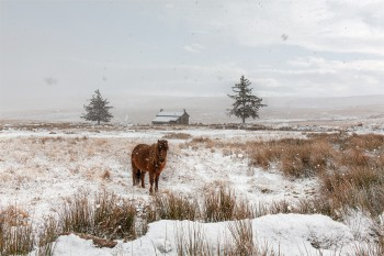 31-12-20-Nuns-Cross-Farm-Snow-Close-Pony-Snowing5D3_3735Watermark